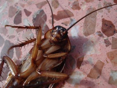 cockroach-15093_960_720.jpg