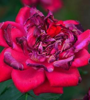 rose-2672535_960_720